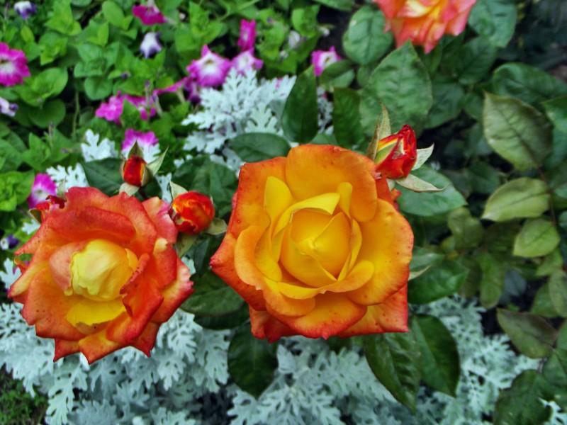 orange rose cinnia