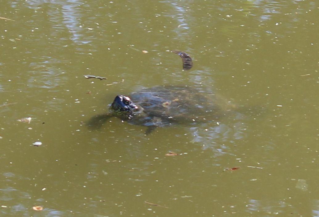 Черепахи на Большой Черепахе